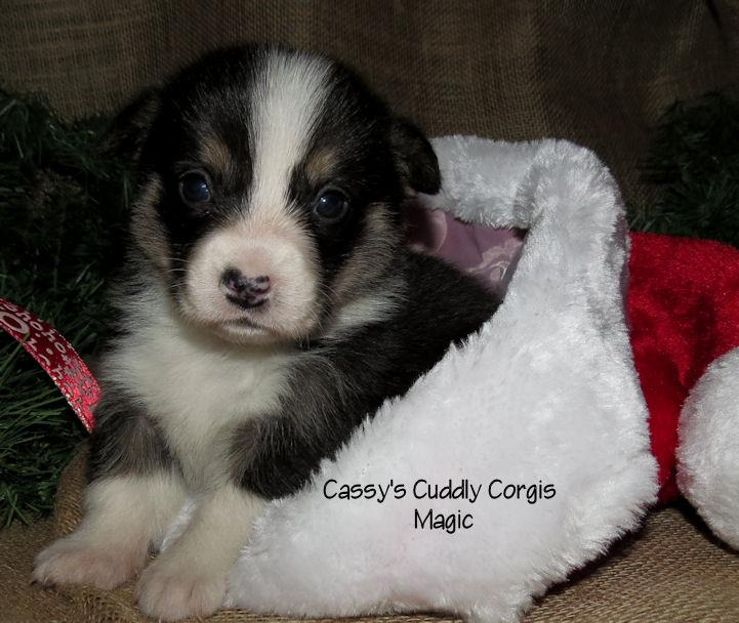 Cassy's Cuddly Corgis
