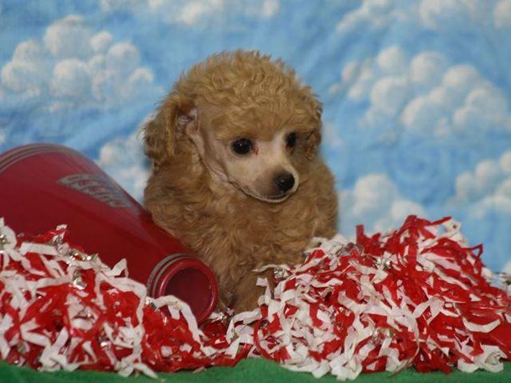 Dreams R Made Teacup Poodles