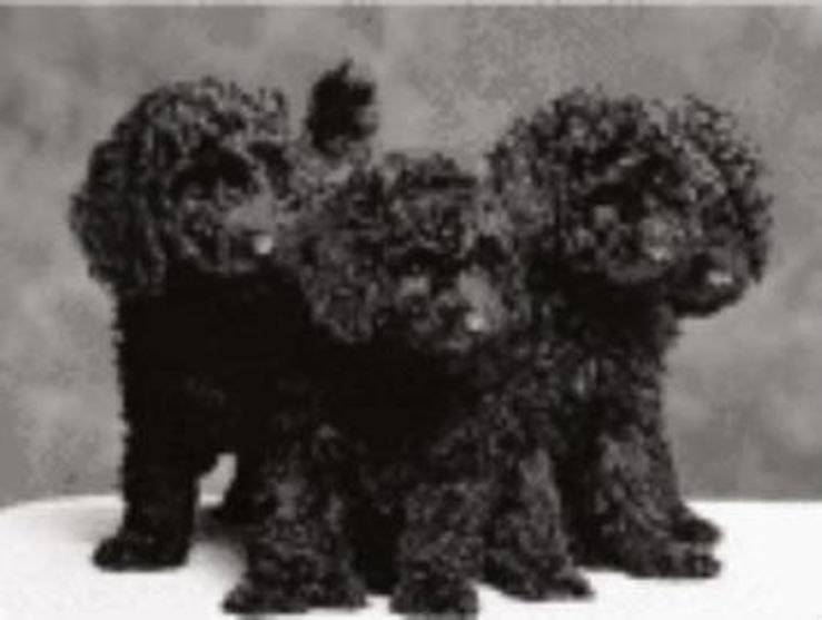 Stonewood Poodles - Miniature & Toy