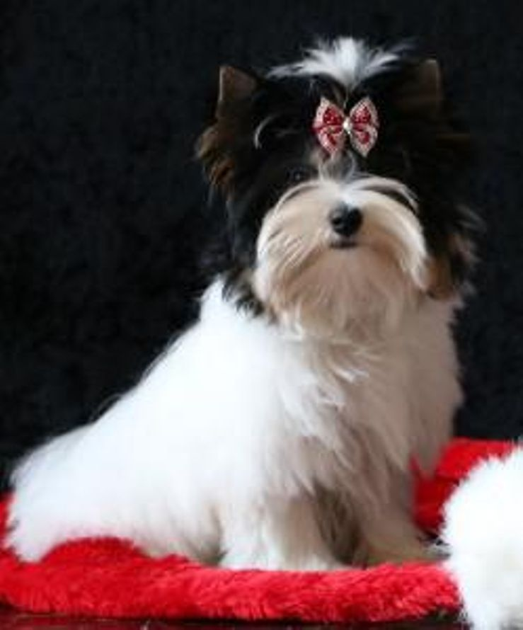 Yorkshire Terrier Breeders Near You With Puppies For Sale