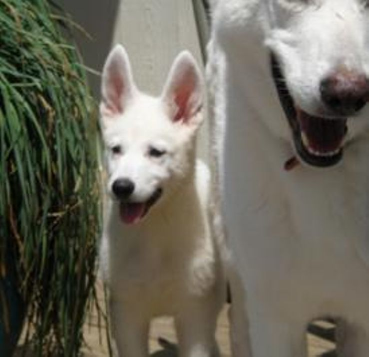 Summit Kennel White German Shepherds