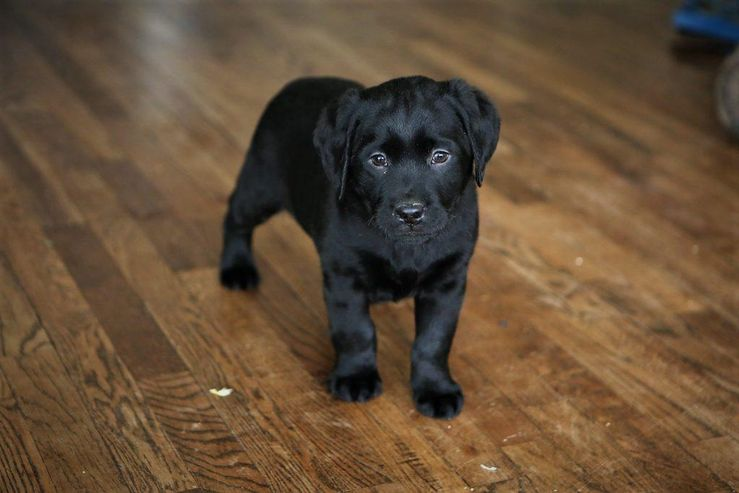 Black Gap Labs Labrador Retrievers