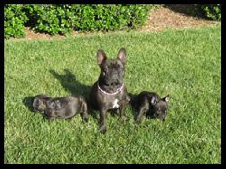 Mon Ami French Bulldogs