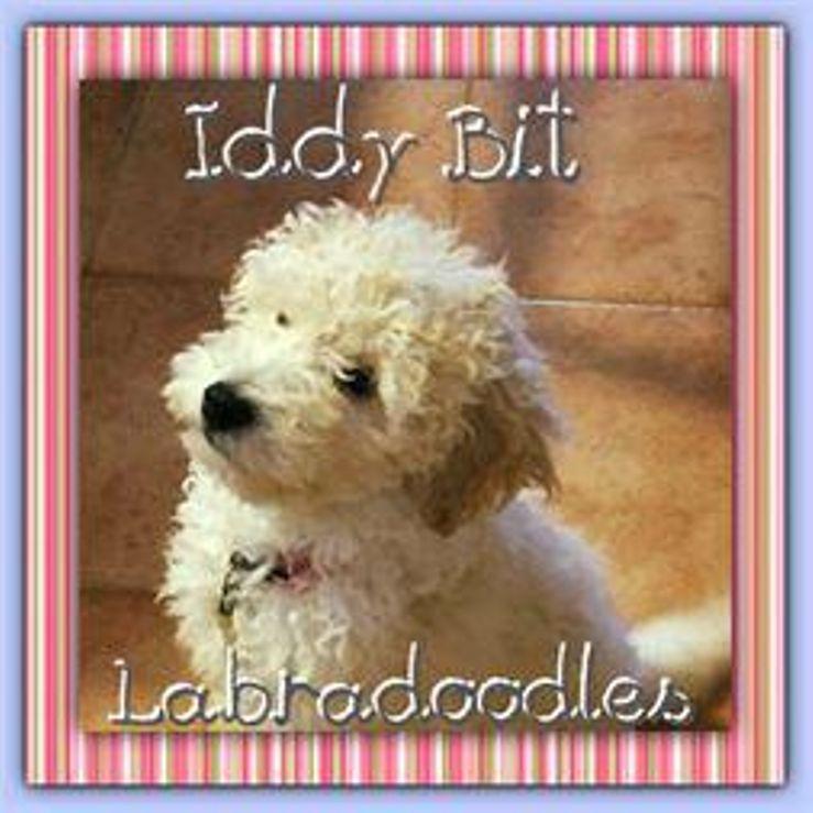 Iddy Bit Labradoodles