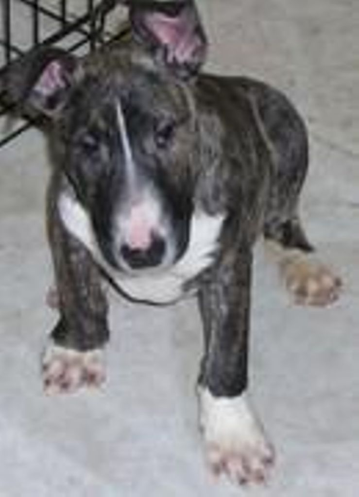 braidsbullterriers.faithweb.com