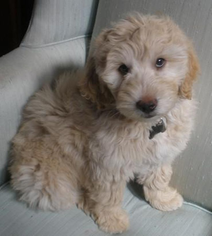 Lamgo Farms Miniature Goldendoodles