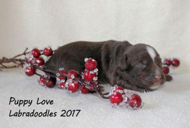 Puppy Love Labradoodles