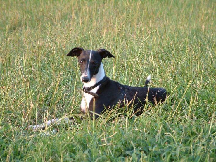 MOSA Italian Greyhounds