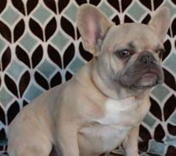 Lilac Frenchies French Bulldogs
