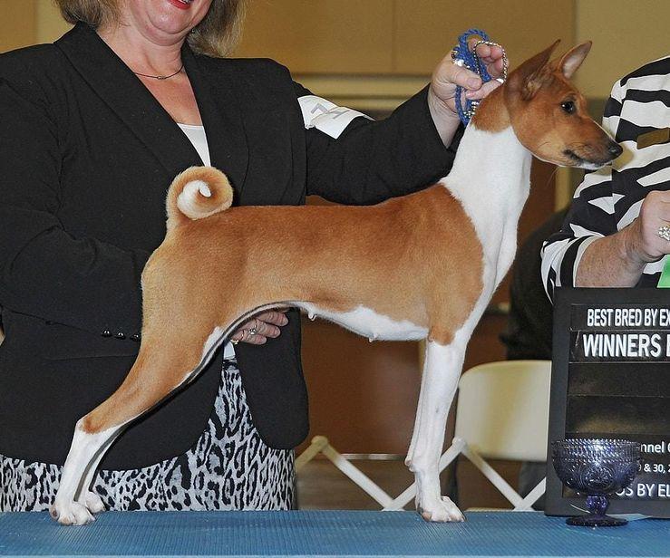 Khanis Basenjis & Italian Greyhounds