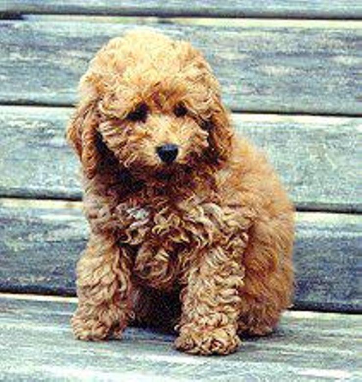 London Hills Miniature Poodles