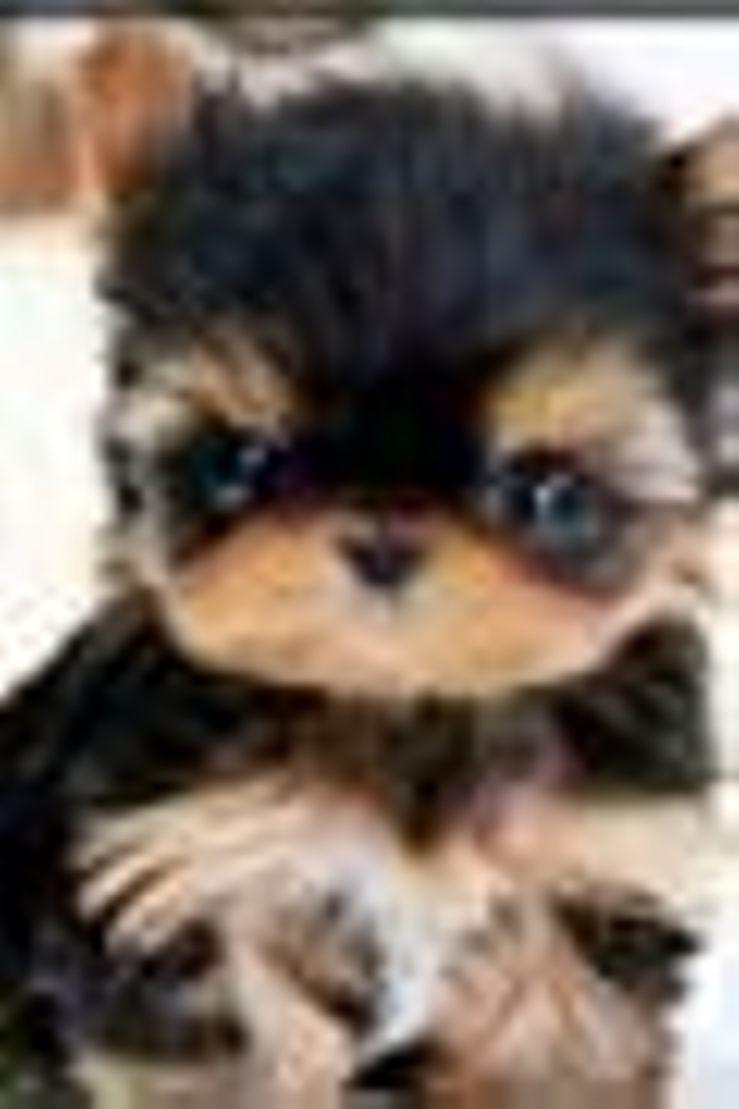 Smallest Poodle 4 U Poodles