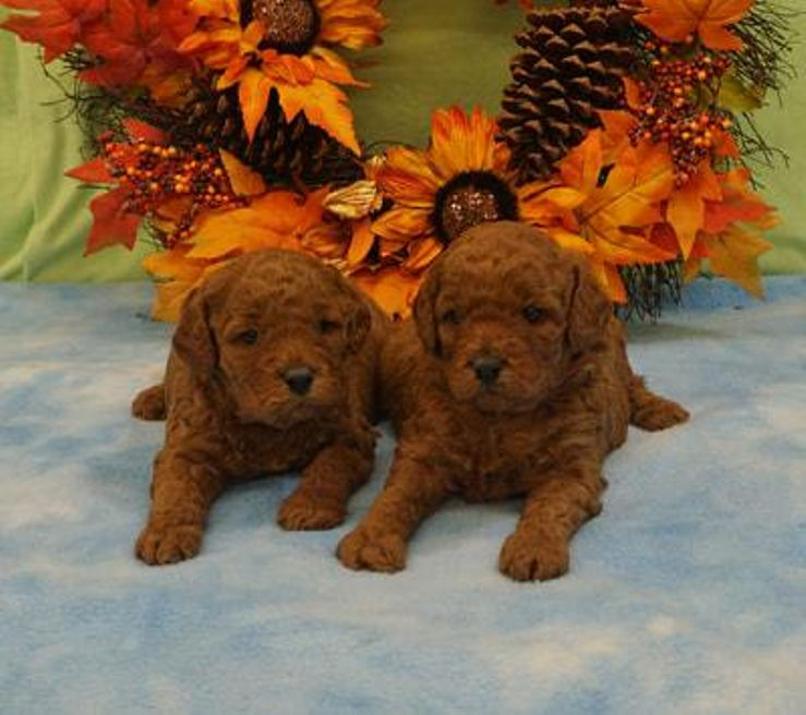 Dog Breeders Near Memphistn With Puppies For Sale