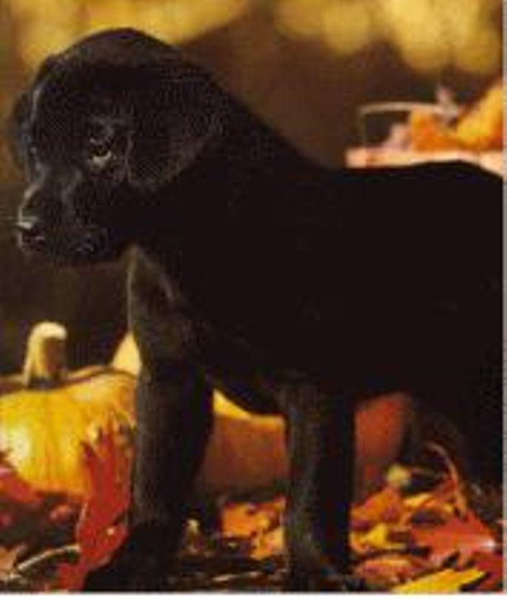 Diamond P Labradors Labrador Retrievers