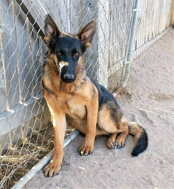 Colorado's Silver Creek German Shepherd Dogs