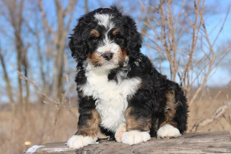 Bernedoodle Breeders Near You With Puppies For Sale