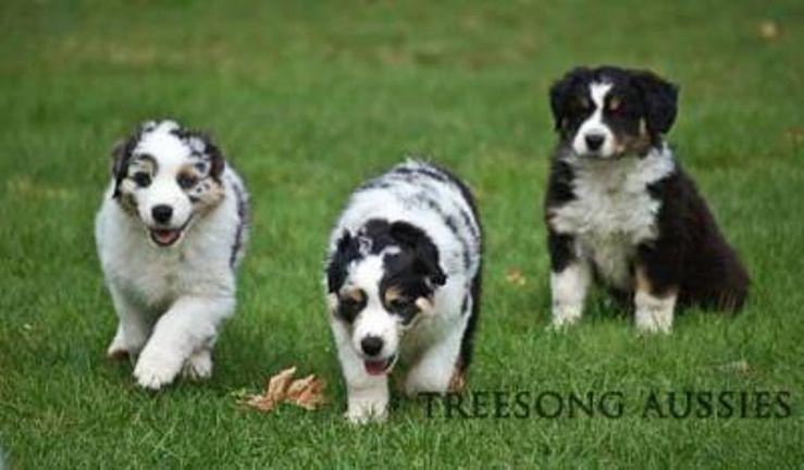 Australian Shepherd Breeders Near You With Puppies For Sale