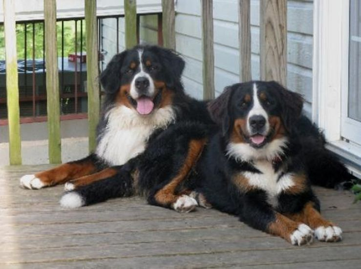 Country View Berners Bernese Mountain Dogs