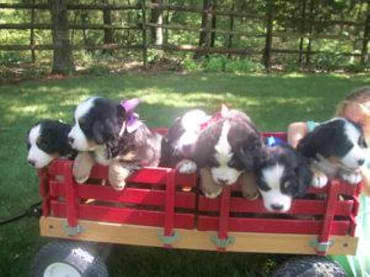 M & M's Buckeye Country Berners Bernese Mountain Dogs
