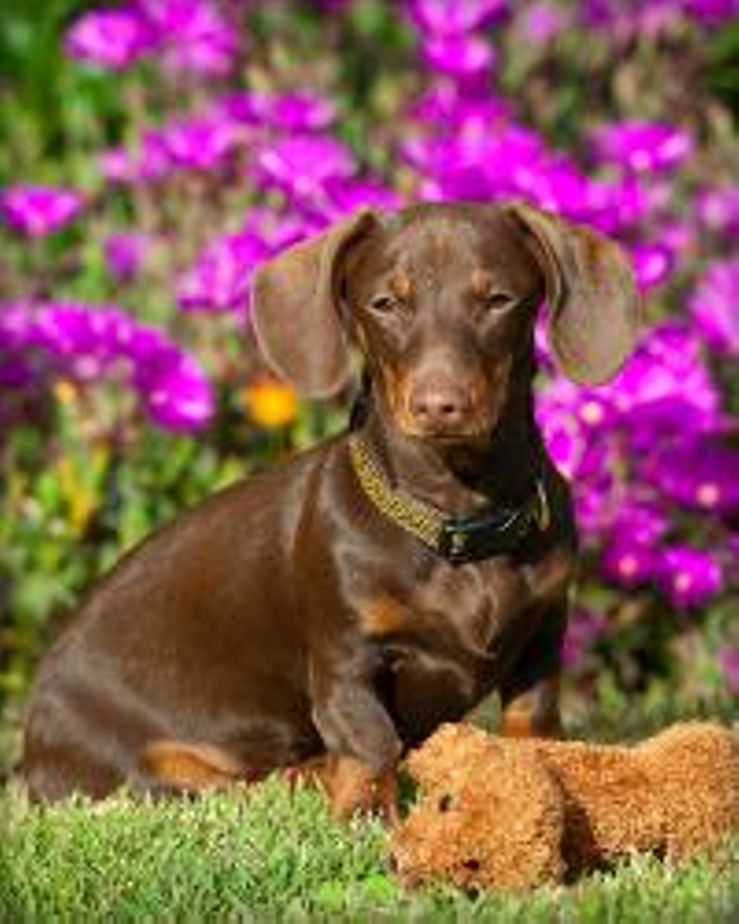 Dachshund Breeders Near Bakersfield,CA With Puppies For Sale