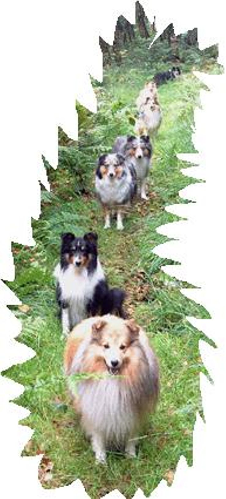Shetland Sheepdog Breeders Near You With Puppies For Sale