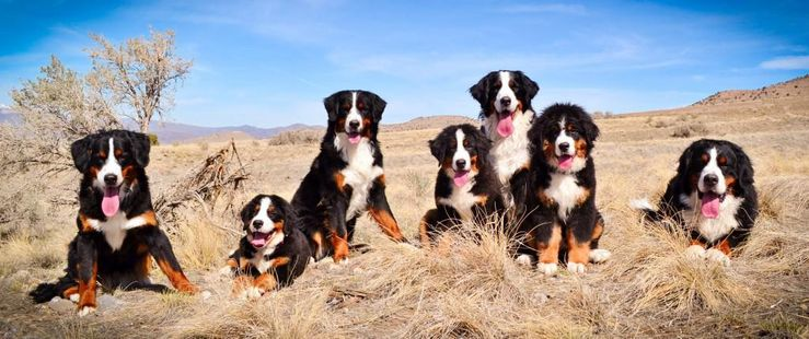 WCC's Bernese Mountain Dogs