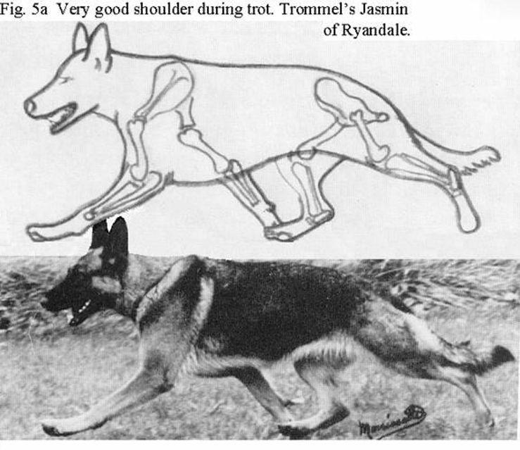 Grunfeld German Shepherds