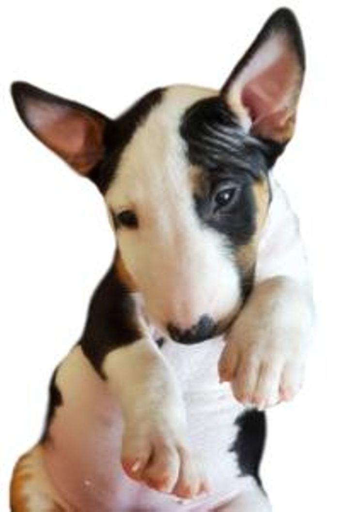 Rossi River Minibulls | AKC Miniature Bull Terriers
