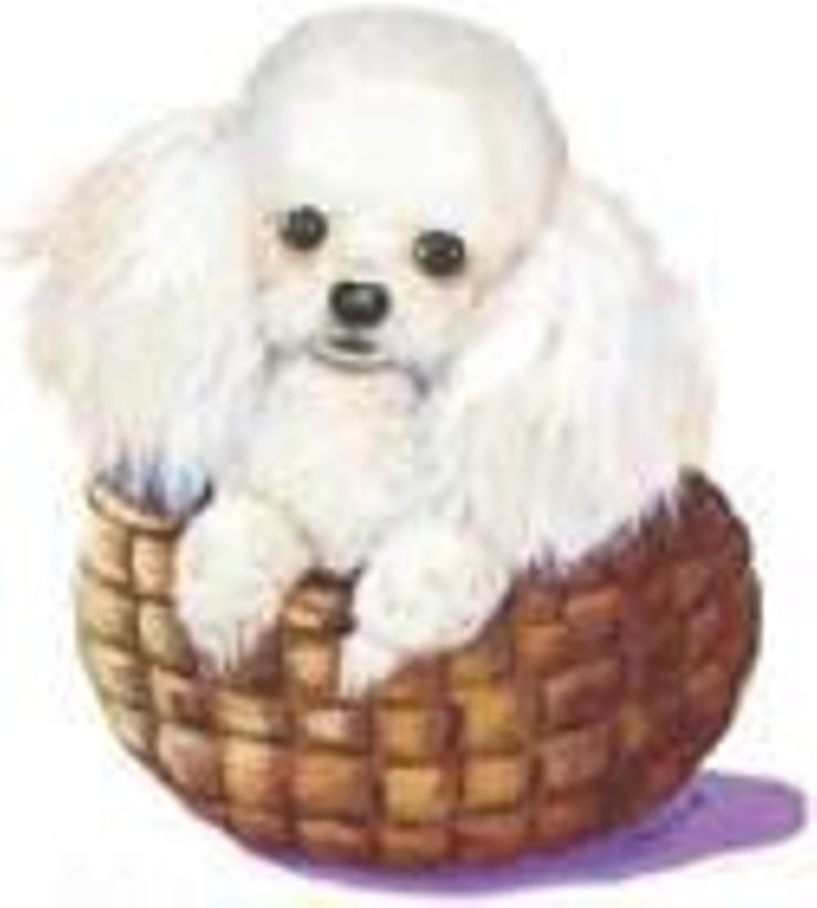 Teddy Bear Poodles & PooMixes Cockapoos